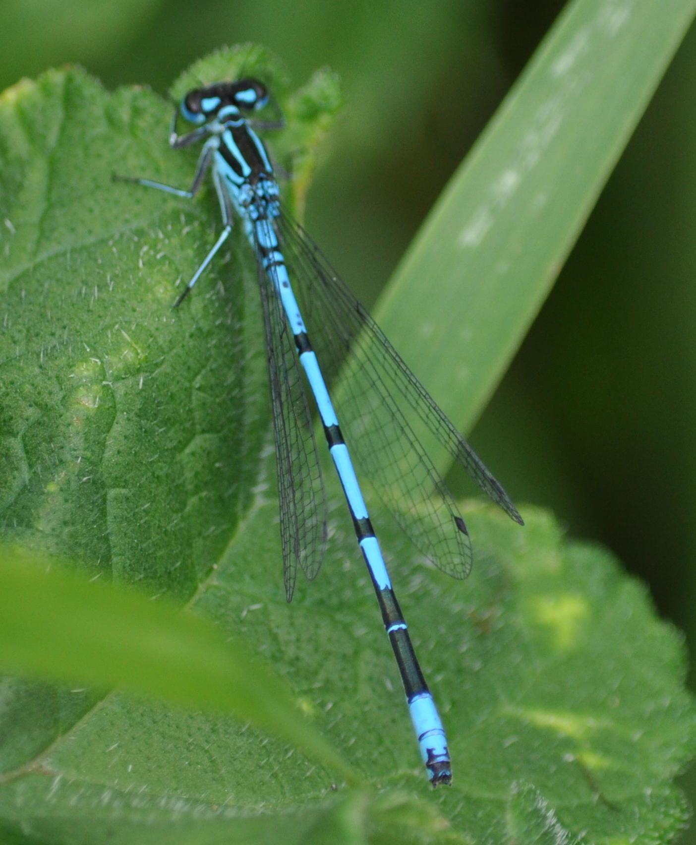 azure damsel flies fly - photo #40